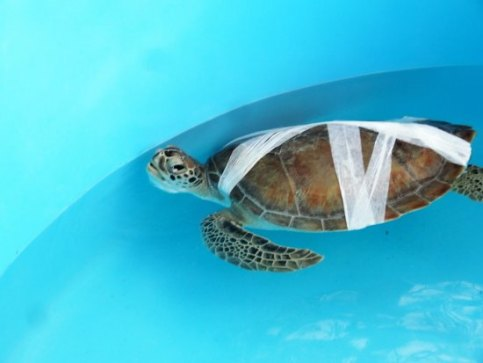 sea-turtle-recovering